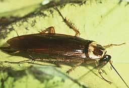 Cockroach256